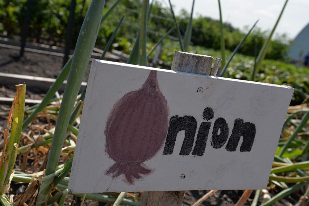 whatwegrow-onions