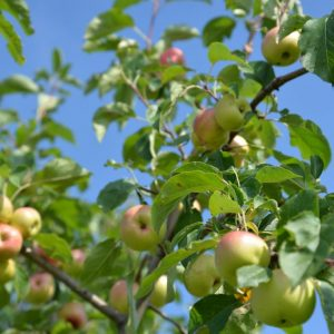 whatwegrow-orchard-apples