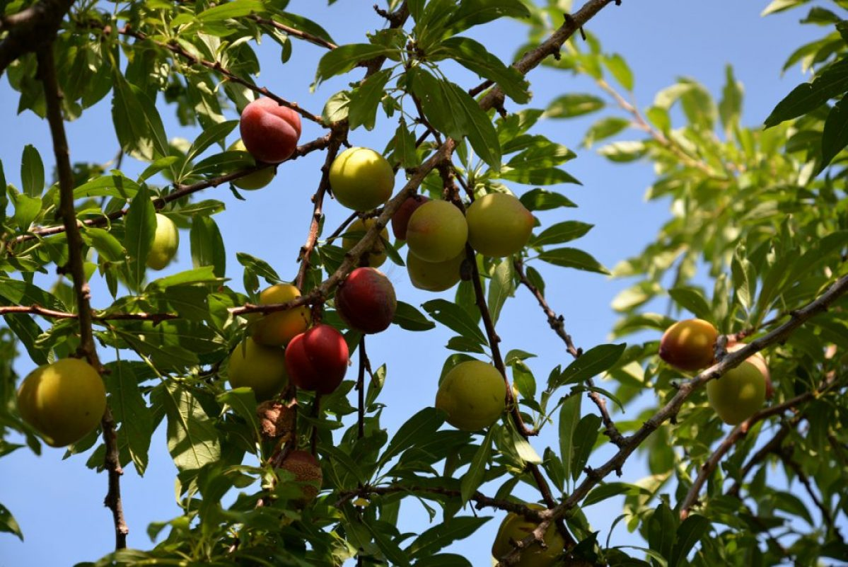 whatwegrow-orchard-apriconts