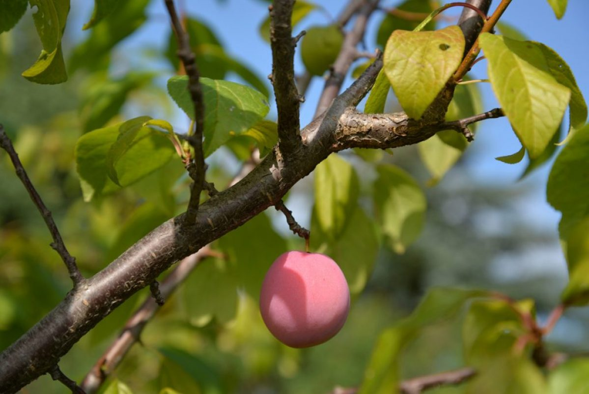 whatwegrow-orchard-apricots2