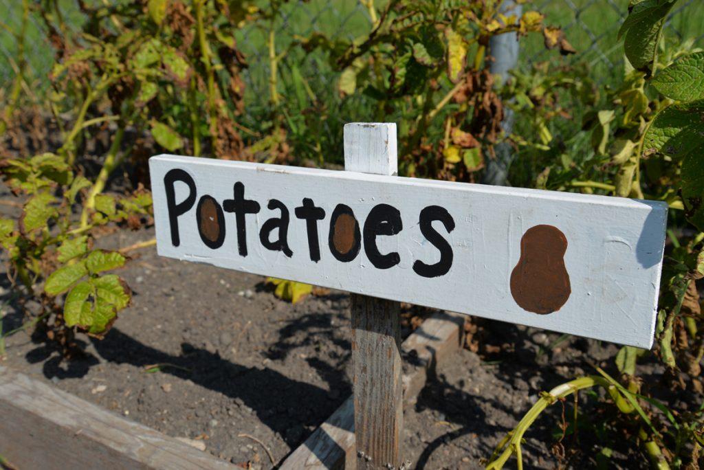 whatwegrow-potaotes