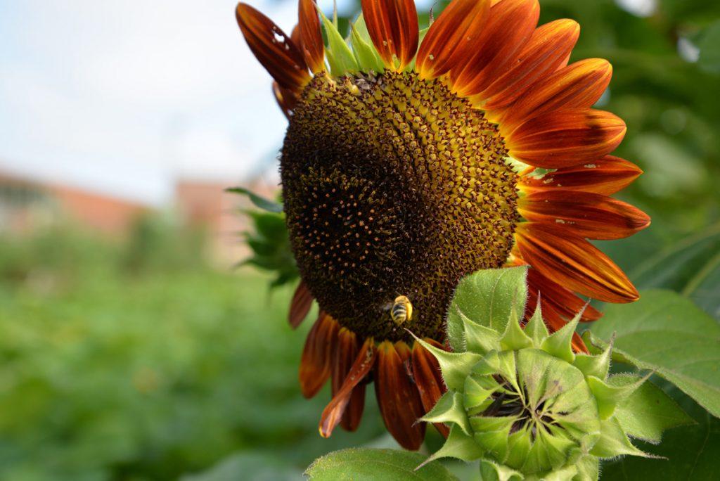 whatwegrow-sunflower