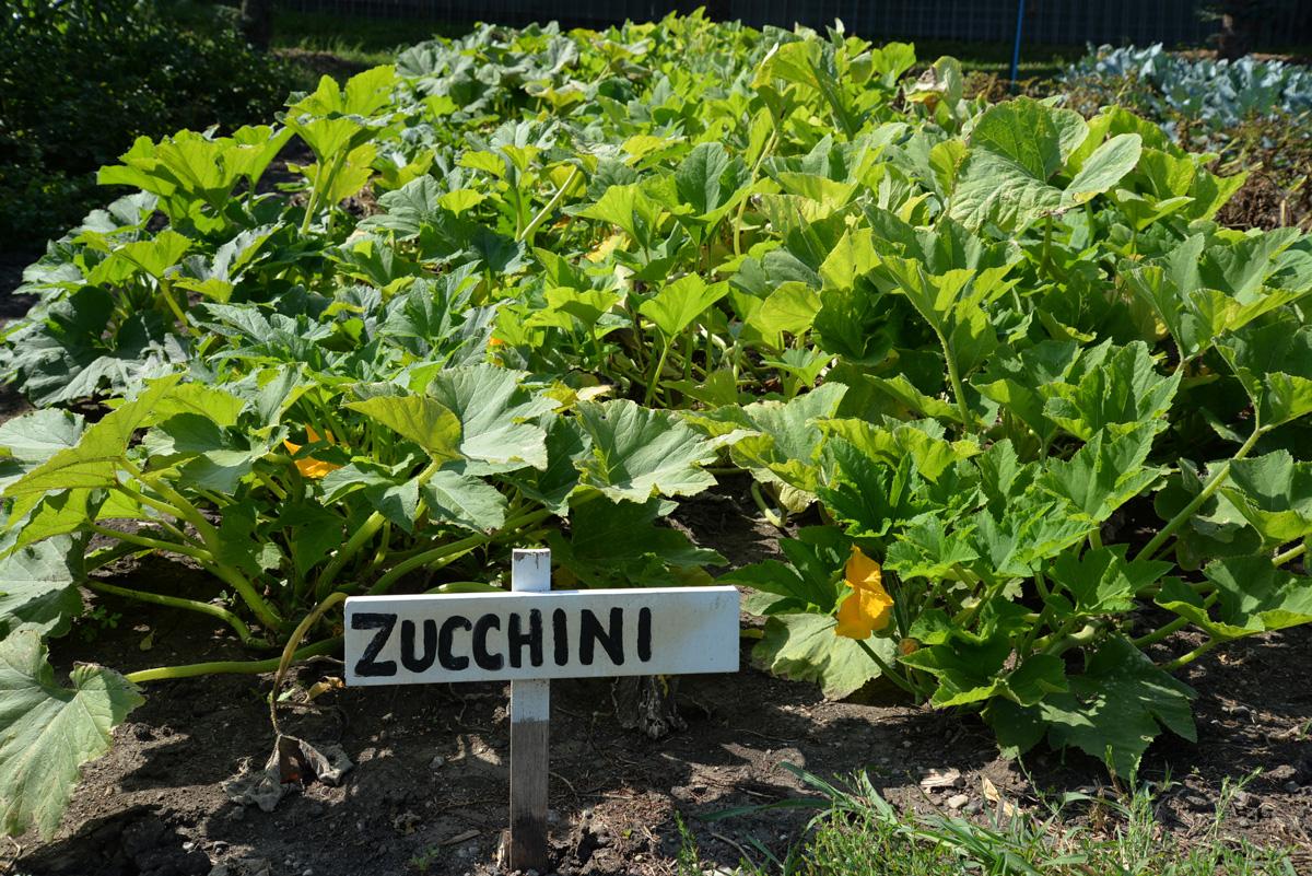 whatwegrow-zucchini2